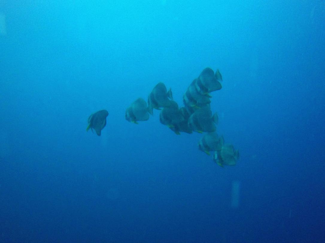 Batfish at the SS Thistlegorm