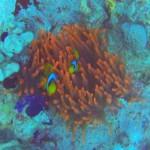 Anemone fish at Ras Umm Sid