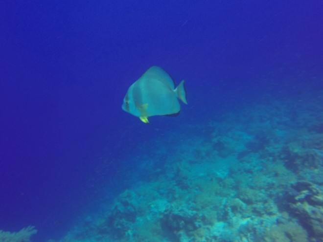 Batfish at Yolanda & Shark Reef