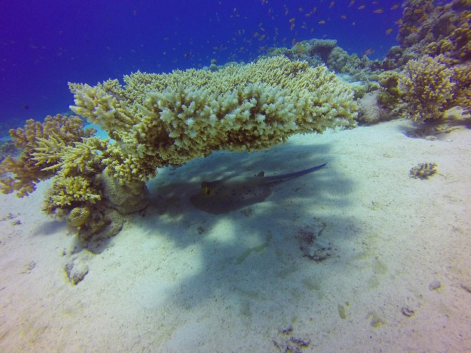 Blue spotted stingray at Gordon Reef