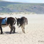 Donkeys at Barmouth