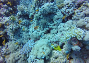 Corals in Egypt