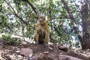 Monkey at Azrou Forest, Morocco